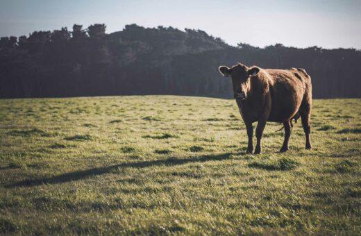En endnu gladere ko